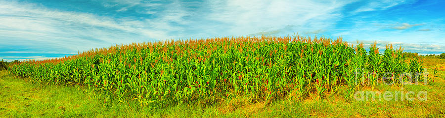 Panorama Photograph - Corn Crop by MotHaiBaPhoto Prints