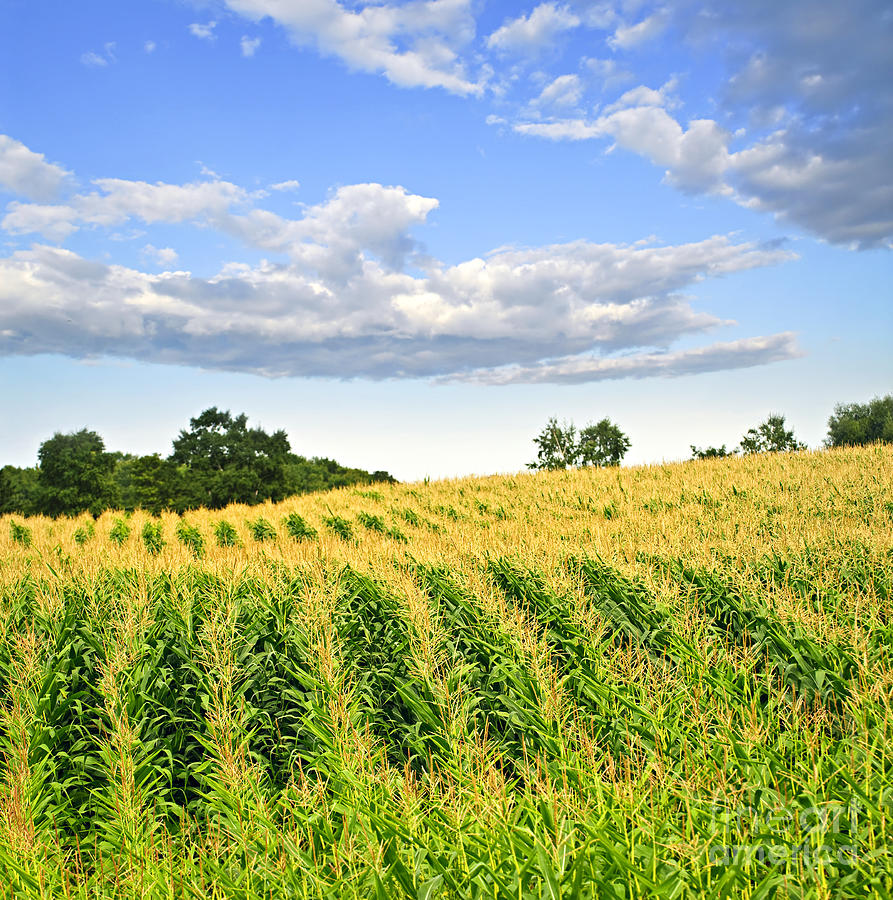Agriculture Photograph - Corn Field by Elena Elisseeva