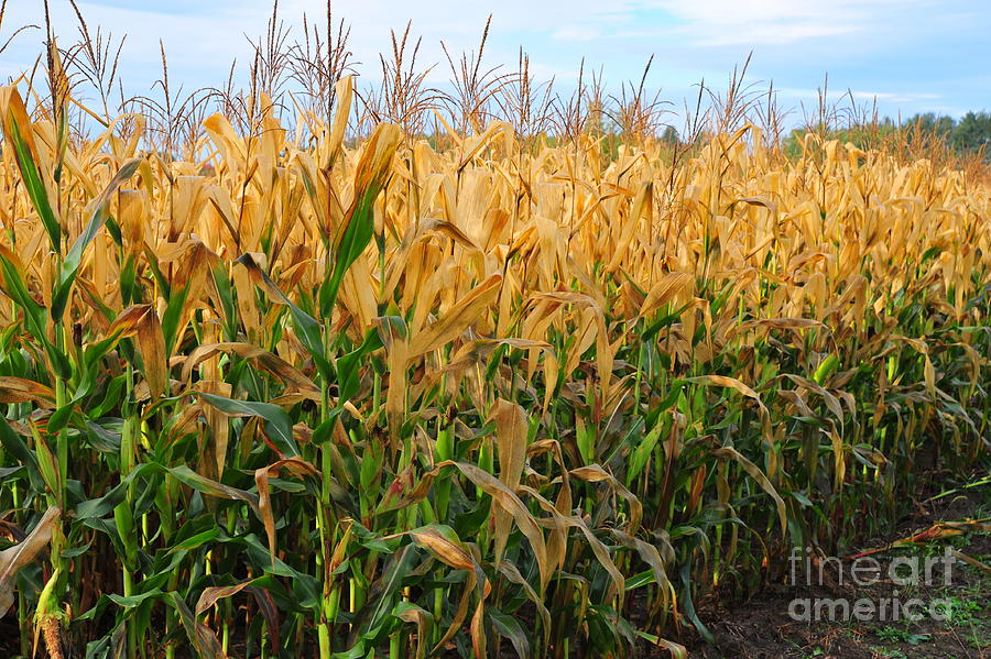 Farm Photograph - Corn Harvest by Terri Gostola