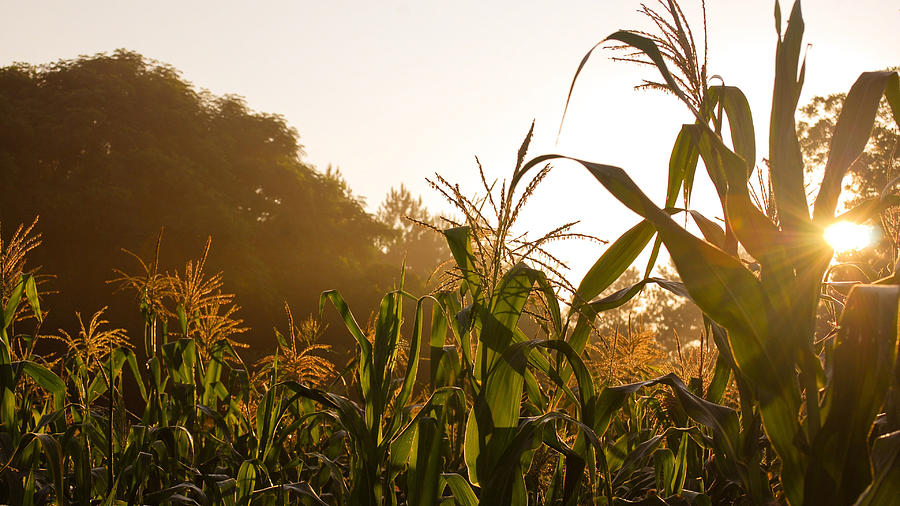Corn In The Sunlight Photograph by Cristin Sirbu
