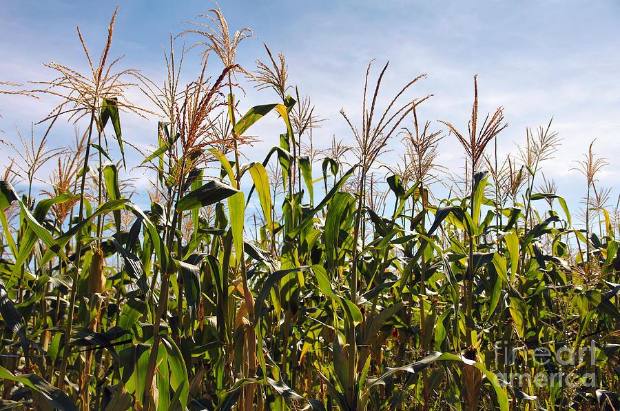 Corn Photograph - Corn Production by Carlos Caetano