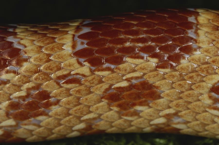 Corn Snake Scales Photograph by Simon D. Pollard