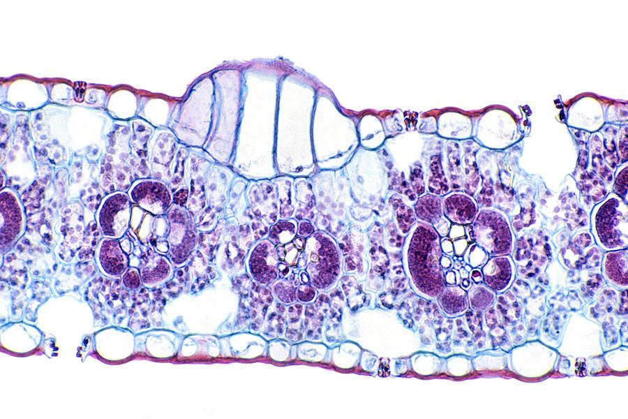 Corn (zea Mays) Monocot Leaf Showing Bulliform Cells, Vascular Bundles, And Stomates. Lm X80 Photograph by Dr. Ken Wagner