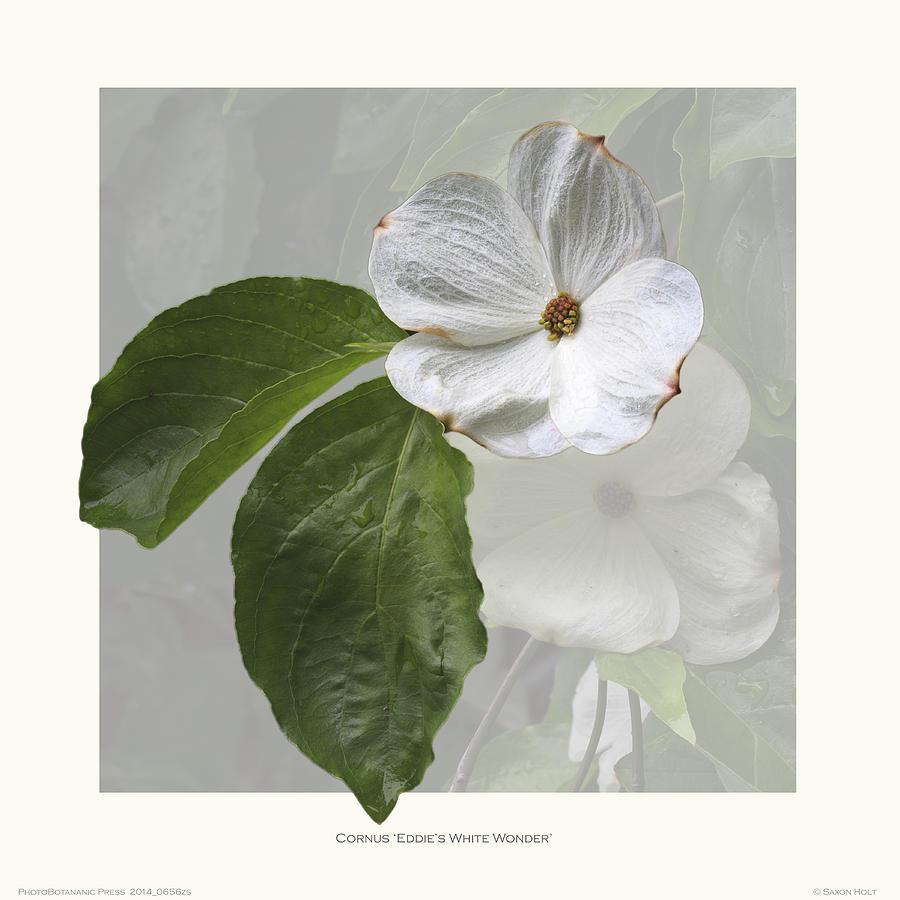 Silhouette Photograph - Cornus Eddies White Wonder by Saxon Holt
