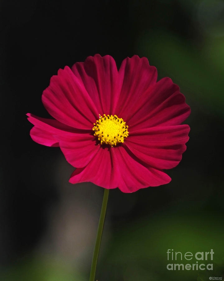 Cosmos Photograph - Cosmo In The Red by Lizi Beard-Ward