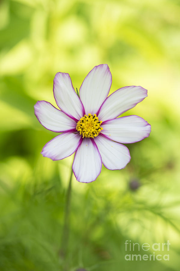 Flower Photograph - Cosmos Candy Stripe by Tim Gainey