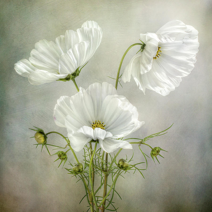Cosmos Photograph - Cosmos Charm by Mandy Disher