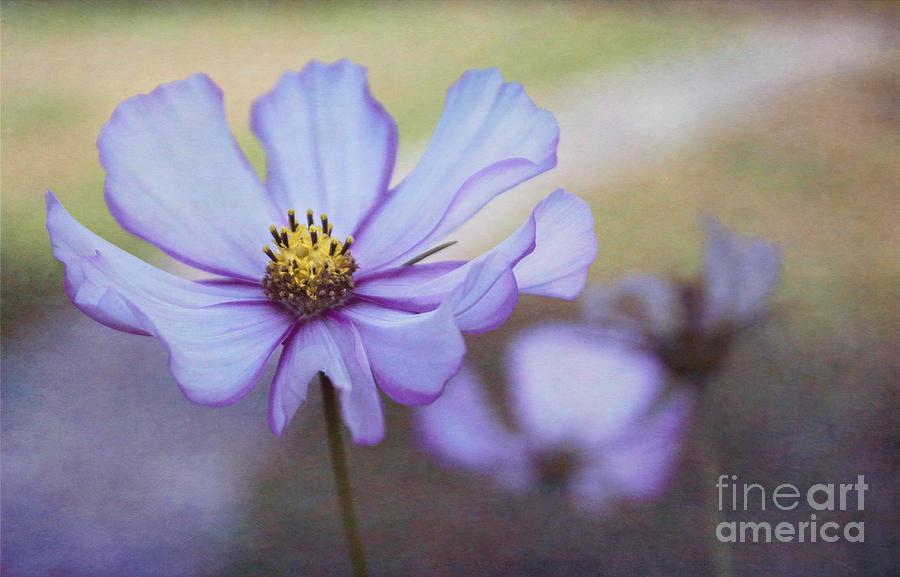 Flowers Photograph - Cosmos Dream by Arlene Carmel