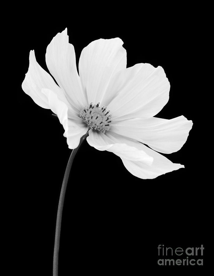 Cosmos flower in gentle shades of grey on black photograph by cosmos photograph cosmos flower in gentle shades of grey on black by rosemary calvert mightylinksfo