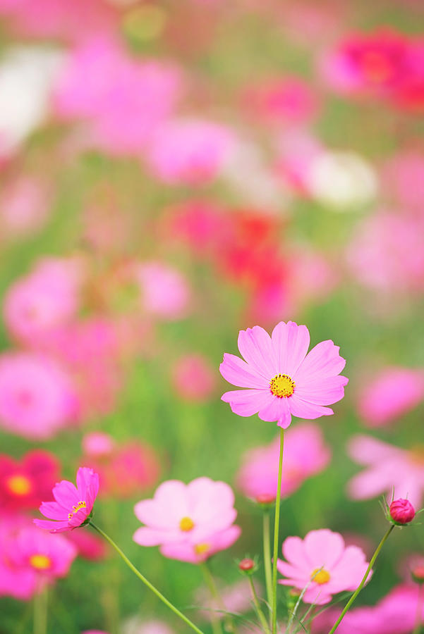 Cosmos Flowers Photograph by Ooyoo