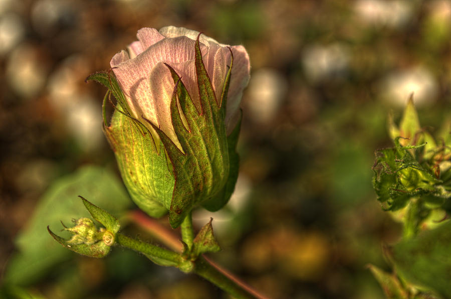 Bloom Photograph - Cotton Bloom by Kelly Kitchens