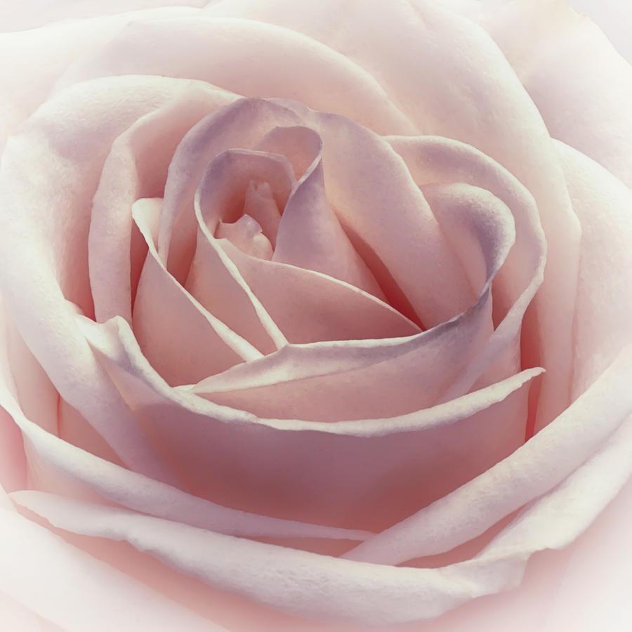 Floral Photograph - Cotton Candy Kisses by Darlene Kwiatkowski