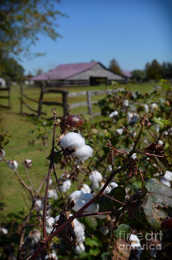 Louisiana Photograph - Cotton Farm by Jeanne  Woods