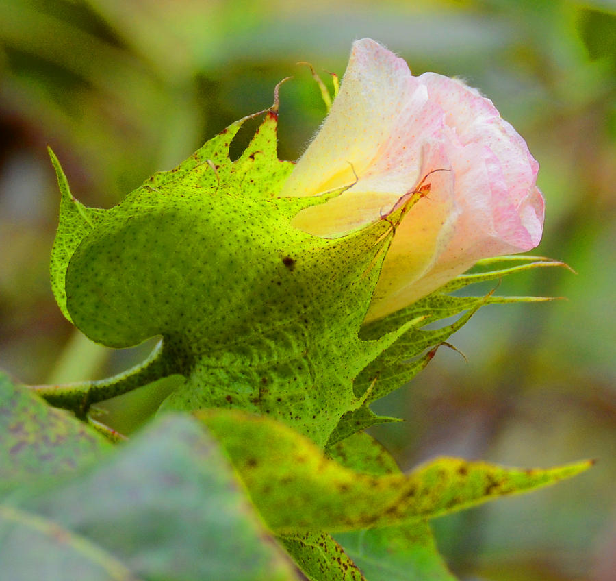 Cotton Photograph - Cotton Flower by Julie Cameron