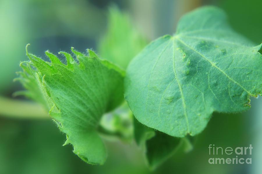 Cotton Photograph - Cotton Plant by Charline Xia