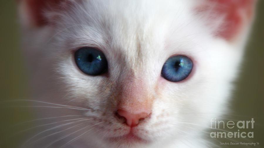Kitten Photograph - Cotton by Sandra Bauser Digital Art