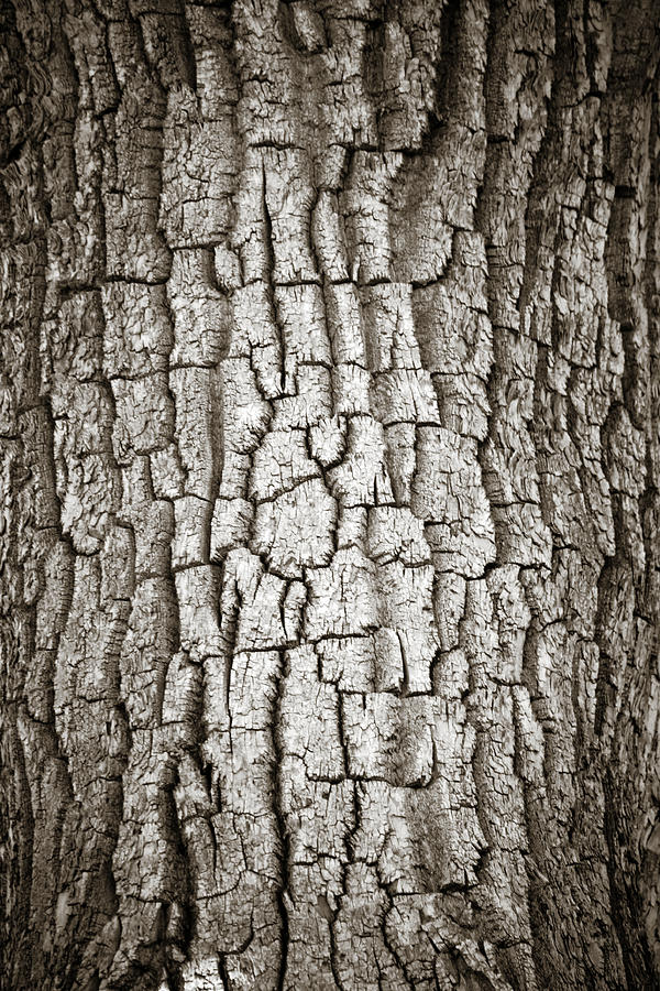 Cottonwood Photograph - Cottonwood Bark 1 by Marilyn Hunt