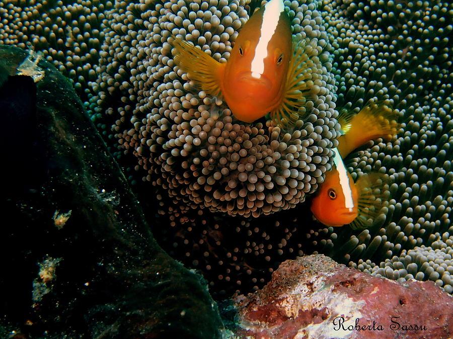 Clown Fish Pyrography - Cou Cou by Roberta Sassu