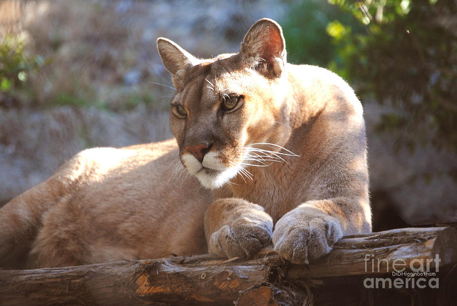 Cougar Photograph - Cougar 1 by DiDi Higginbotham
