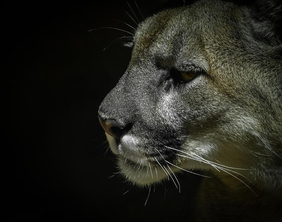 Mountain Lion Photograph - Cougar by Ernie Echols