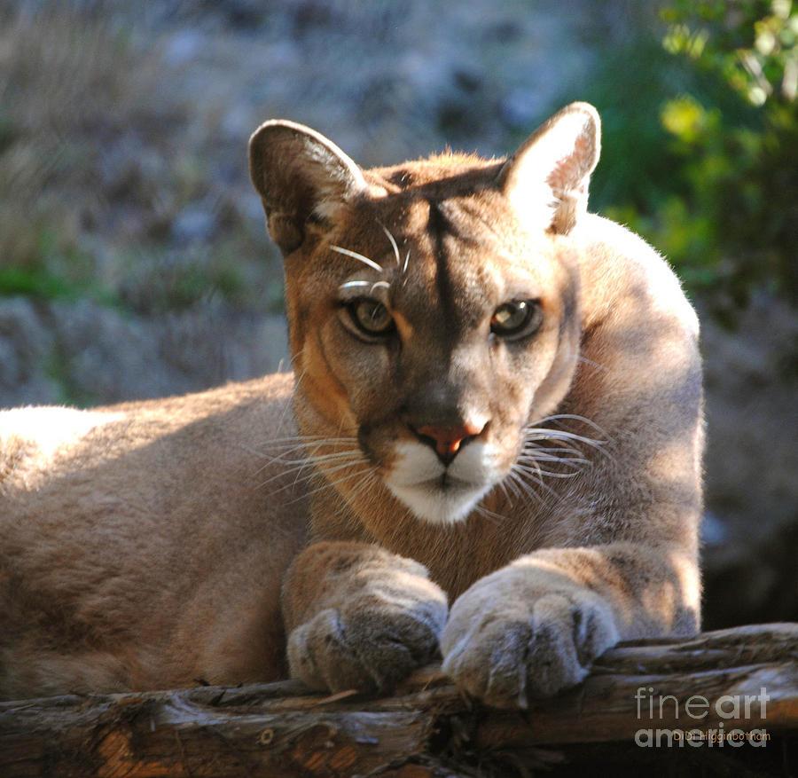 Cougar Photograph - Cougar II by DiDi Higginbotham