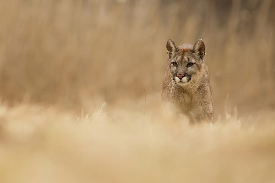 Cougar Photograph - Cougar by Milan Zygmunt