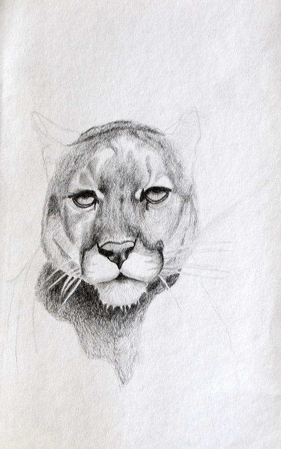 Cougar Drawing - Cougar by Wade Clark