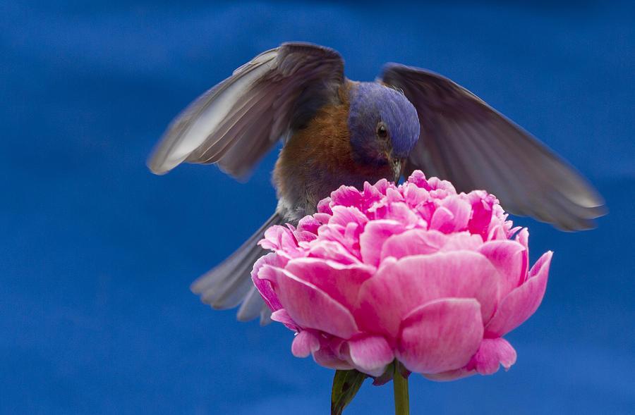 Animals Photograph - Count Bluebird by Jean Noren
