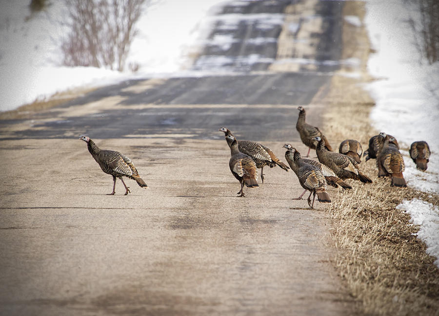 Wild Turkeys Photograph - County Road Crew by Thomas Young