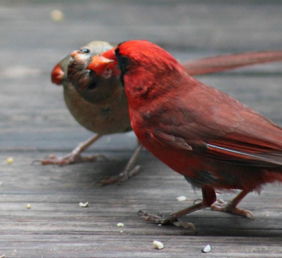 Courting Photograph - Courting Cardinal by Candice Trimble
