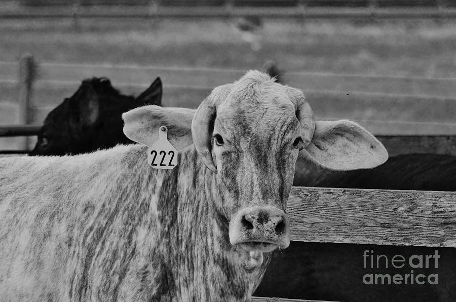 Cow Photograph - Cow 222 by Lynda Dawson-Youngclaus