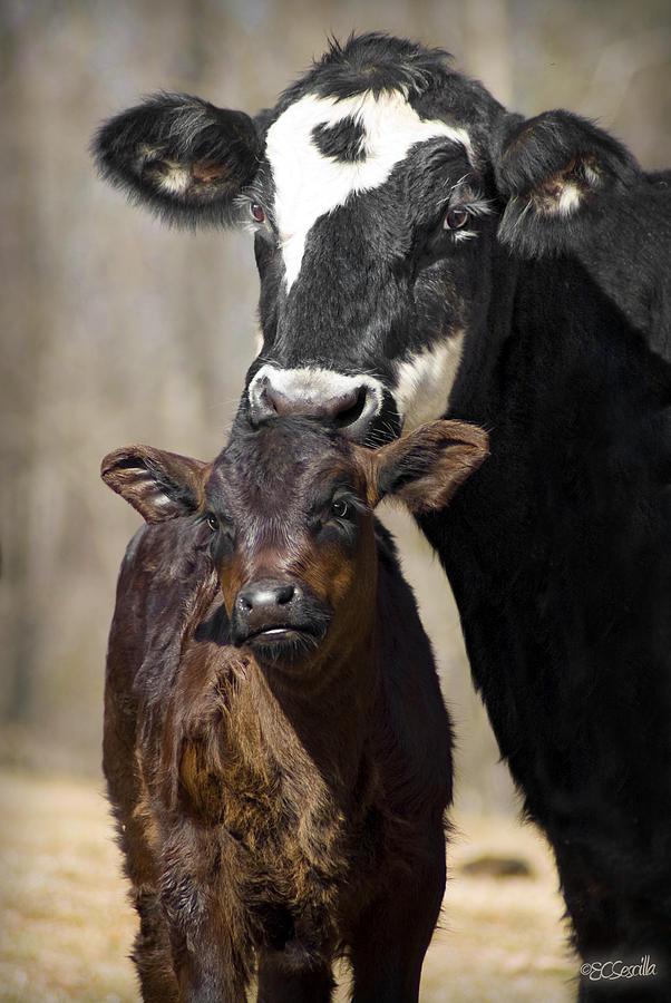 Cow Photograph - Cow And Calf by Elizabeth Vieira