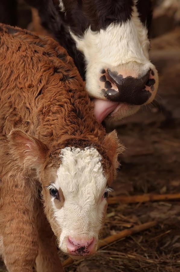 Farm Photograph - Cow And Calf by Ioan Panaite