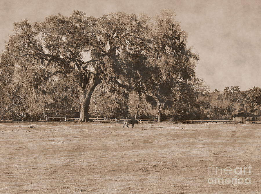 Cow by Live Oak Tree Traverses Pasture by Wayne Nielsen