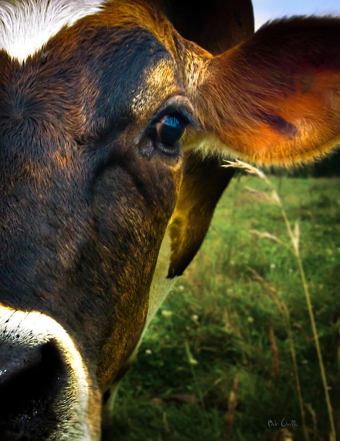 Cows Photograph - Cow Eating Grass by Bob Orsillo