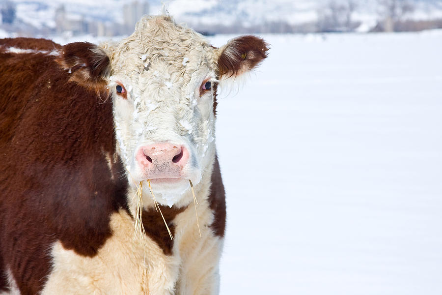 Cow Photograph - Cow - Fine Art Photography Print by James BO  Insogna