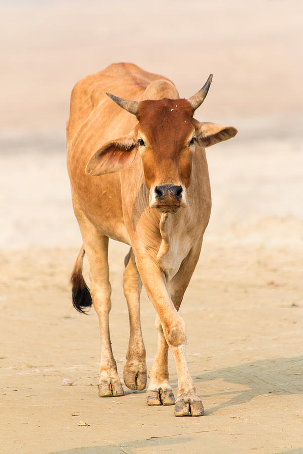Cow Photograph - Cow by Gaurav Singh