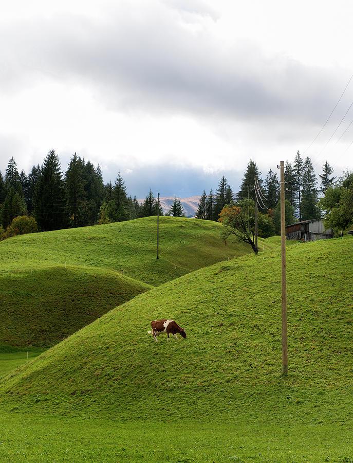 Cow Grazing On Alp Photograph by Pidjoe