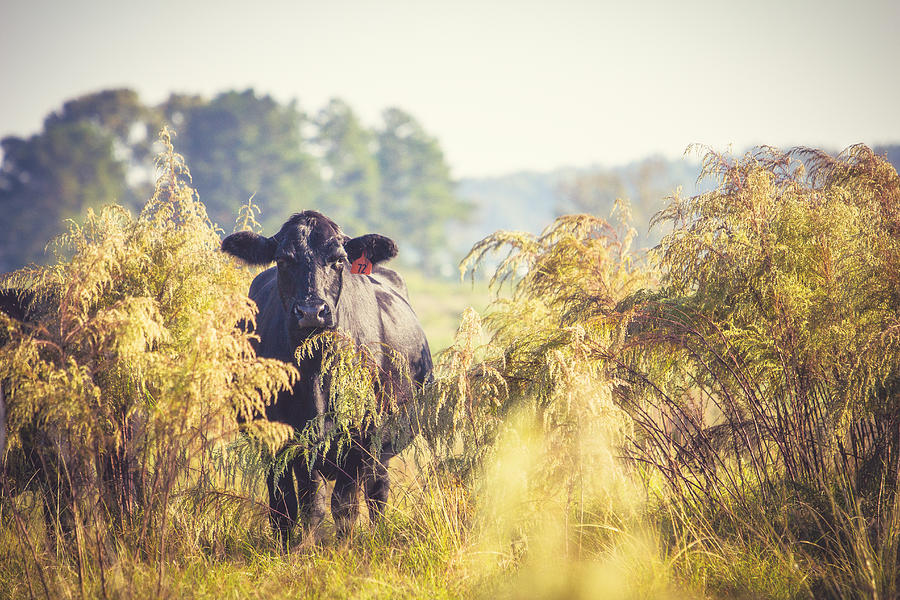 Cattle Photograph - Cow Hiding In The Weeds by Karen Broemmelsick