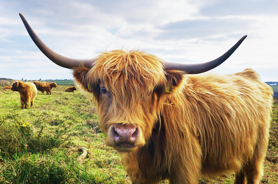 Cow Photograph by Johngollop