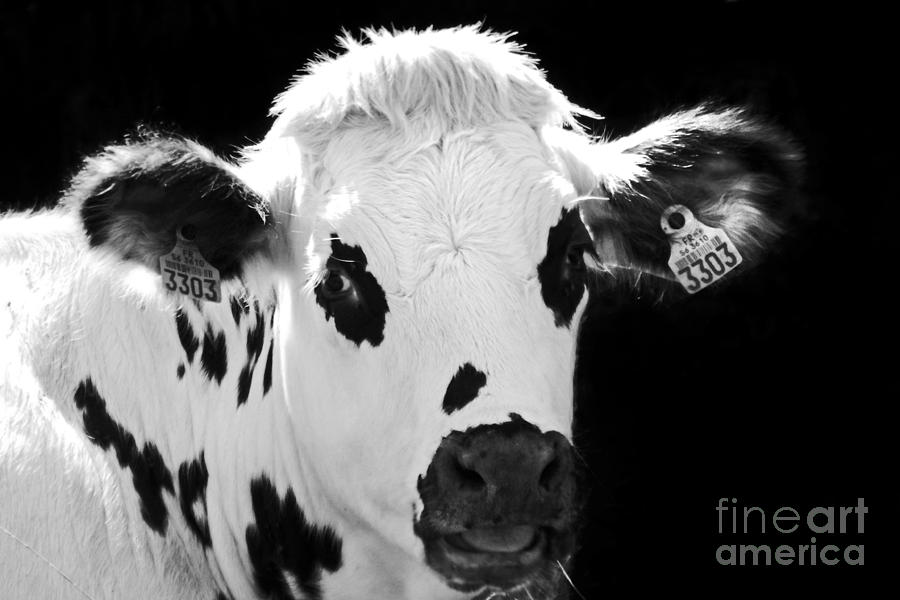 Cow Photograph - cow by Ysis