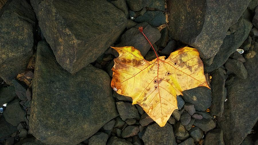 Leaf Photograph - Cowards Heart by Tommy Wallace