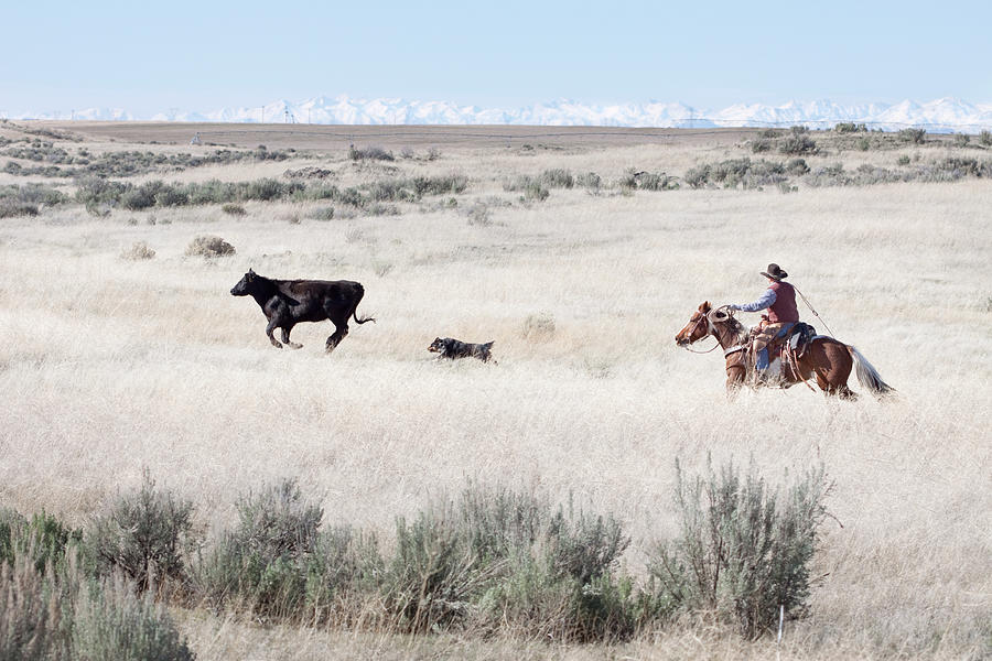 Cowboy Herding Of Angus Cattle On Open Photograph by Daydreamsgirl