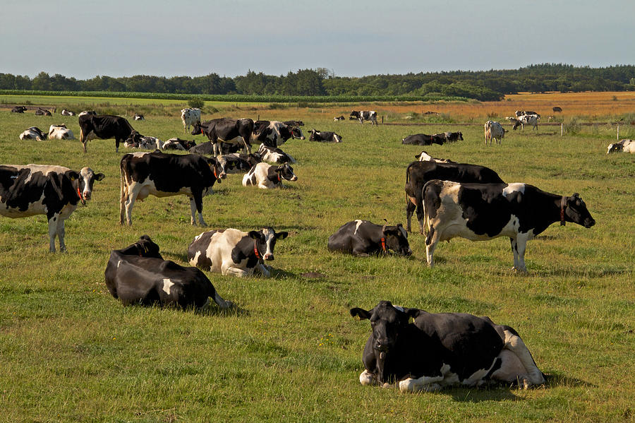 Holsteins Photograph - Cows At Work 1 by Odd Jeppesen