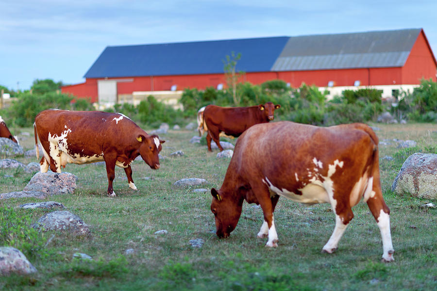 Cows Grazing On Pasture Photograph by Johner Images