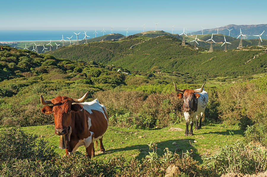 Cows In A Field With Numerous Wind Photograph by Ben Welsh / Design Pics