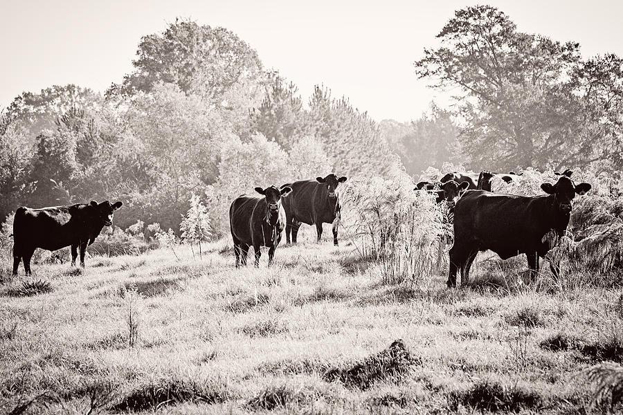 Cow Photograph - Cows by Karen Broemmelsick