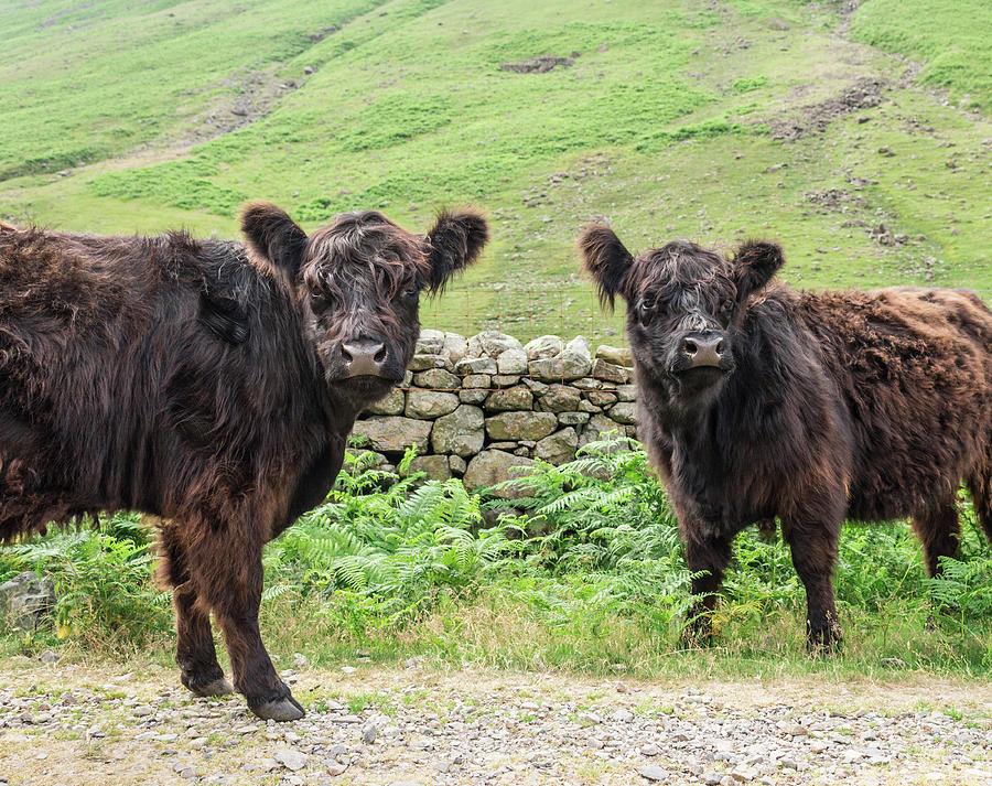Cows, Lake District, England Photograph by David Madison
