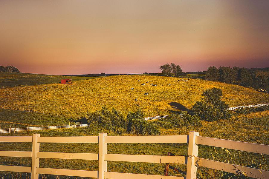 [Image: cows-on-horsebarn-hill-uconn-steve-pfaffle.jpg]