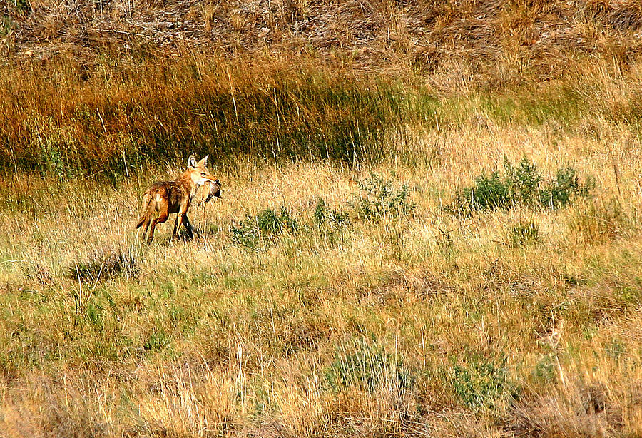 Coyote Photograph - Coyote Catch by Rebecca Adams